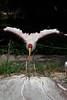 Yellow Billed Stork bare