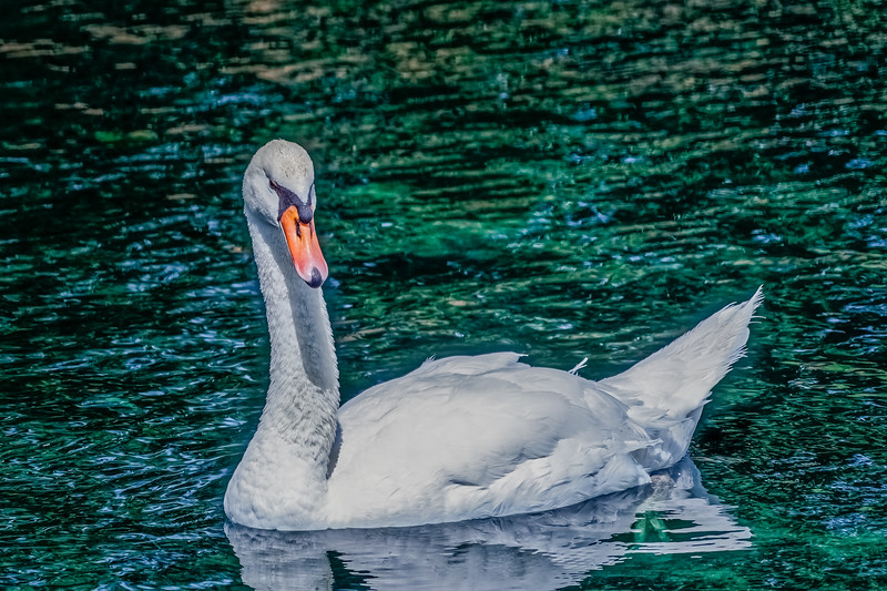 White Swan on Turquoise Water