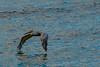 Brown Pelican Enjoying Ground Effect Air at Sunset
