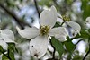 White Dogwood Bloom