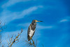Tricolored Heron Looking over the Marsh