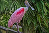 Roseate Spoonbill Close Up