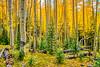 Fall Aspen and Young Evergreen | San Juan Mountains | CO