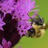 Bee'n Liatris