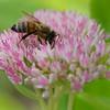 Bee & Sedium