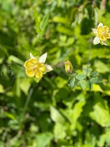 Aquilegia flavescens, yellow columbine