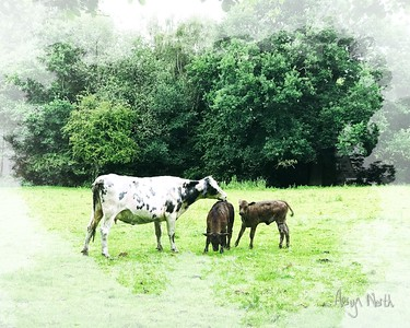 Cow Family Morning 4