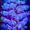 Blue Dream | Wisteria