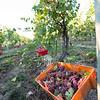 3 Bros Harvest 16011