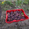3 Bros Harvest 16012