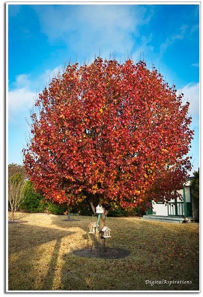 We planted this Bradford Pear in memory of my wife's mother when it was only 3 feet tall. It is so colorful and bright this morning, I just had to share.