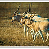 "Finally, a sunny afternoon. I grabbed the camera and went ""hunting."" Did not expect to find exotic Anetelope, but here they are. Not positive of the type but they sure like these:<br />  <a href=""http://www.countryworldnews.com/news/headlines/775-exotic-antelope-are-ranchers-pride-and-joy.html"">http://www.countryworldnews.com/news/headlines/775-exotic-antelope-are-ranchers-pride-and-joy.html</a>"