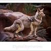 Coyote spots his prey.