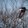 Eagle at the McDougall Landfill