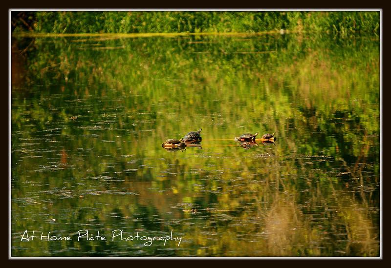 June 27, 2011<br /> <br /> Sun Bathing Turtles<br /> <br /> f/2.8, 1/800, 200mm, ISO 100