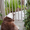 January 30, 2013 -- Brandi waits somewhat patiently for her leash to appear.