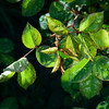 "March 8, 2013 -- The sun came out for a little bit as I was trying to take a traditional ""water drops on leaves"" shot."