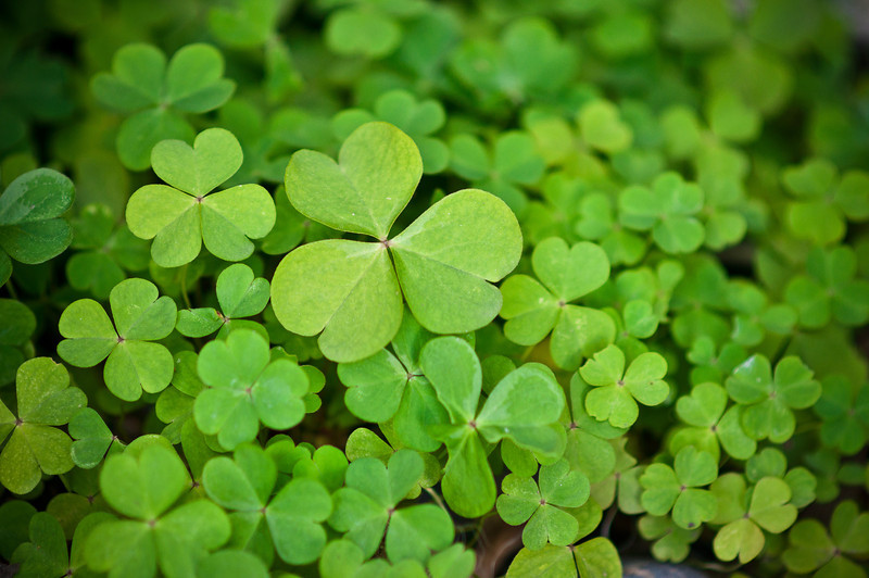 "March 17, 2013 -- Trader Joe's was selling these as ""shamrocks"" yesterday. They call them shamrocks, I call them oxalis, among other things."