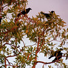 September 1, 2013 -- The crows are arriving back in the neighborhood by the hundreds every day.