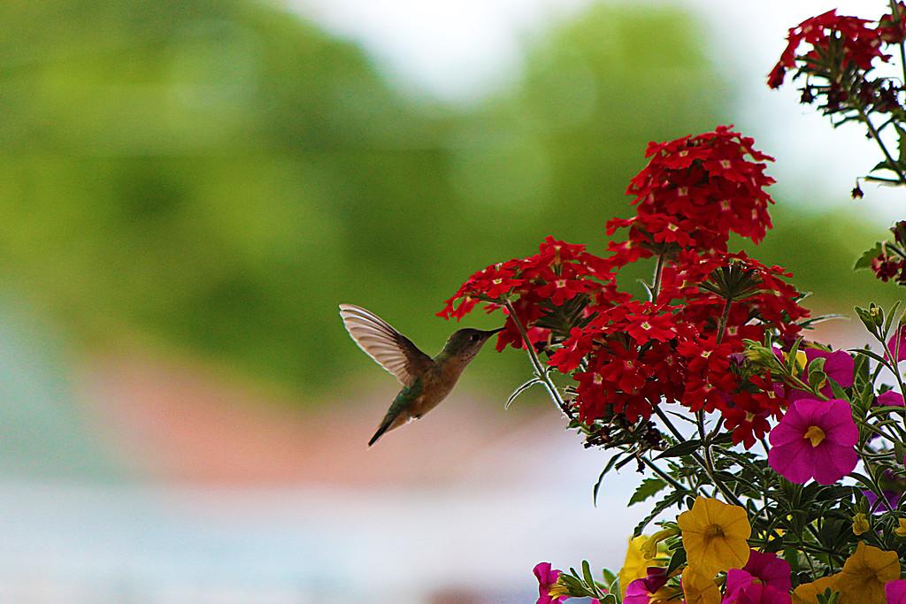 Look A Hummingbird! 121/365 6/1/13