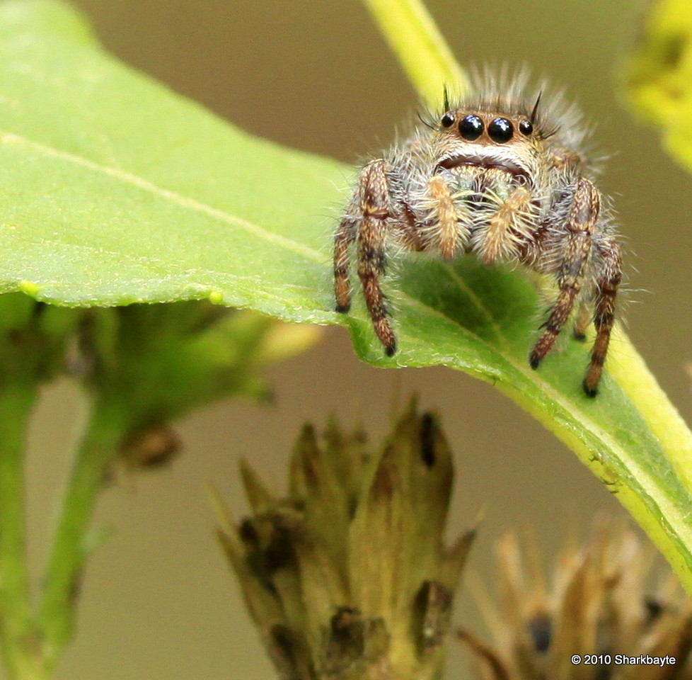 This guy was very in-tuned with my camera, every time he heard the shutter he looked and came a bit closer....last time he moved. my chair was in reverse! (Pidippus princeps, Jumping spider) Day 300 #365Project (2010.10.27) @sharkbayte<br /> <br /> Thank you for all the kind comments on the past few days pictures!
