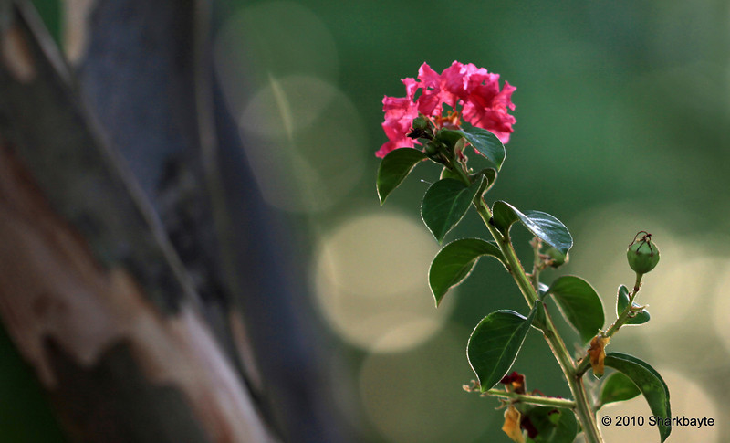 Day 192/365 - The lone flower. This stem was growing between several tree branches all the other blooms are at the top of the tree. #365Project Settings: 100.0mm f/2.8 1/30s ISO:100 @sharkbayte