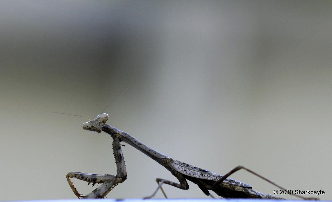 This is a Carolina Mantid, Stagmomantis carolina. I Caught him sitting on top of a small SUV. I could barely see him as the lip of the roof was blocking him from me. Day 258 #365Project (2010.09.15) @sharkbayte