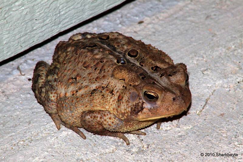 The toad Day 175/365- Found this guy stalking bugs right in the breeze way. I believe he is the Eastern American Toad (Bufo americanus) versus Fowler's toad if any one knows correct id please let me know. #365Project (settings: 300.0mm 1/5s f/22.0 ISO: 400)