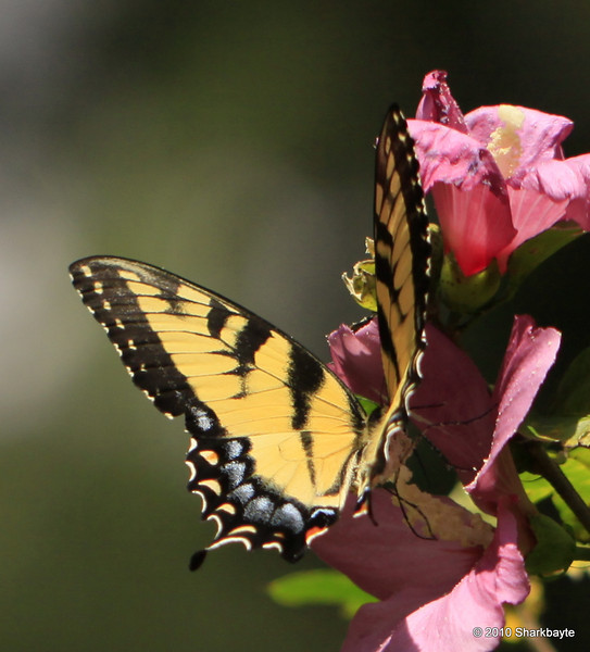 The pollinators. Eastern Tiger Swallowtail. Day 236 #365project (2010.08.24) settings: 100.0mm f/2.8 1/4000s ISO: 200