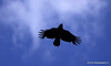Day 148-Freedom.  #365Project (2010.05.28) Finally saw the bird but it was directly over head. the next two shots are one handed as he went behind my head. 100.0m f/2.8 1/6400s ISO: 100 @sharkbayte