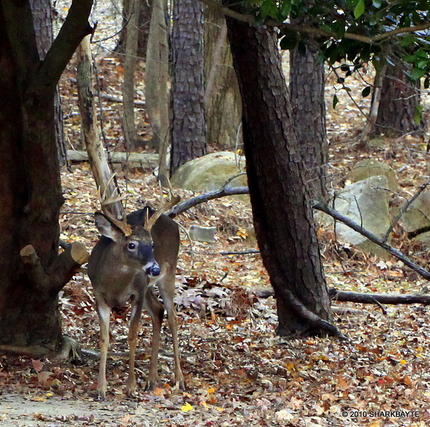 As I was coming out the door, I saw a commotion out the corner of my eye. The buck entered the yard and scared the does away. By the time I turned my chair around to get a better look he was gone. The next yard over had activity of some sort and he got spooked. (2010.11.28) Day 333 #365Project @sharkbayte