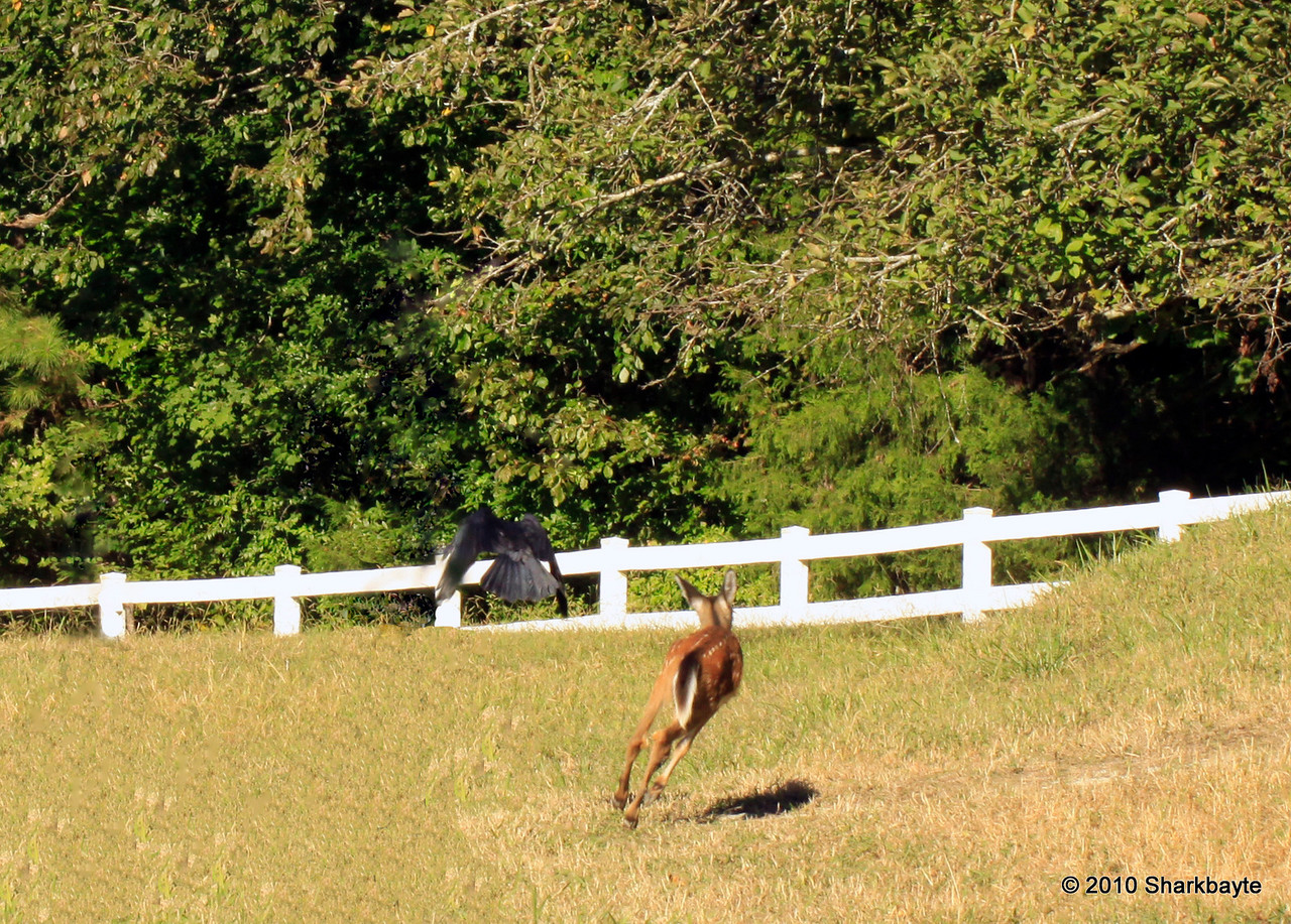 "The Chase. I was watching the fawn when this big crow chased him out of the field. I took a few more shots and posted them in here: <a href=""http://sharkbayte.smugmug.com/gallery/12874193_UJSX2/#1042376739_KUANk"">http://sharkbayte.smugmug.com/gallery/12874193_UJSX2/#1042376739_KUANk</a><br /> This is also the first time I did more pp other than cropping and tweaking contrast or color. I had to remove a branch that was blocking most of the scene. It's not the greatest but I am sure with practice I will get the hang of it. <br /> <br /> Thank you for all the comments and help I have been receiving here. It really means a lot to me. I am hoping I can comment on everyone's pictures tonight if not I hope the internet will be working better in the am.<br /> <br />  #365Project Day 283 (2010.10.10) @sharkbayte"