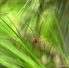 Opiliones-Harvestmen.  Caught him in between pine needles. #365Project Day 241- (2010.08.29) @sharkbayte