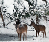 Playing in the snow. The deer were back today, they like to stand up and grab the leaves covered in snow. This is why they have snow on their heads and backs. I'm going to upload more where you can see them grabing the leaves off the trees. Day 361 (2010.12.27) @sharkbayte