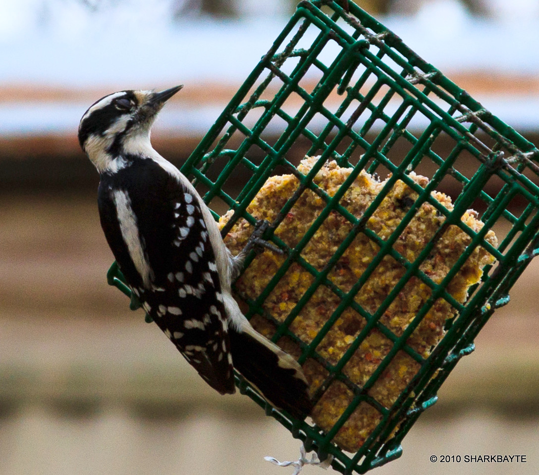 A female Downy Woodpecker. My neighbor's bird feeders were swaying so I decided to check things out. There were 4 different species there as well as the neighborhood cats. The cats went away empty handed but not for a lack of trying. My neighbor raised the heights of the bird feeders. Day 335 (2010.12.01) #365Project @sharkbayte<br /> <br /> Thank you for all the nice comments on Bossy Bear and the cake. I was cracking up from some of the comments! Thanks for making me smile reading them! The only lights I have are the overhead room light I think it has 2 bulbs in it and I use my speed lite. I need to get a cord so I can use the speed lite off camera.