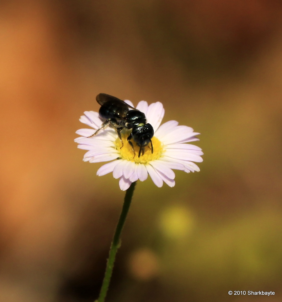 "Halictid Bee - Ceratina 1/4"" was busy at work on this tiny daisy. Day 239 #365project (2010.08.27) @sharkbayte"
