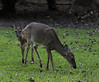 Today another herd of deer came. There were seven of them with 2 little fawns, I called them the twins. Here one of the little ones is seen with an older fawn with his knobs growing which I read is termed a button-buck. This herd was funny, they weren't scared by me or the tree that happened to have fallen while taking these shots. #365Project Day 276 (2010.10.03) @sharkbayte<br /> <br /> thank you for all the kind comments on my snake and beetle pictures and all the others as well! Your encouragement has helped me a lot. thank you!