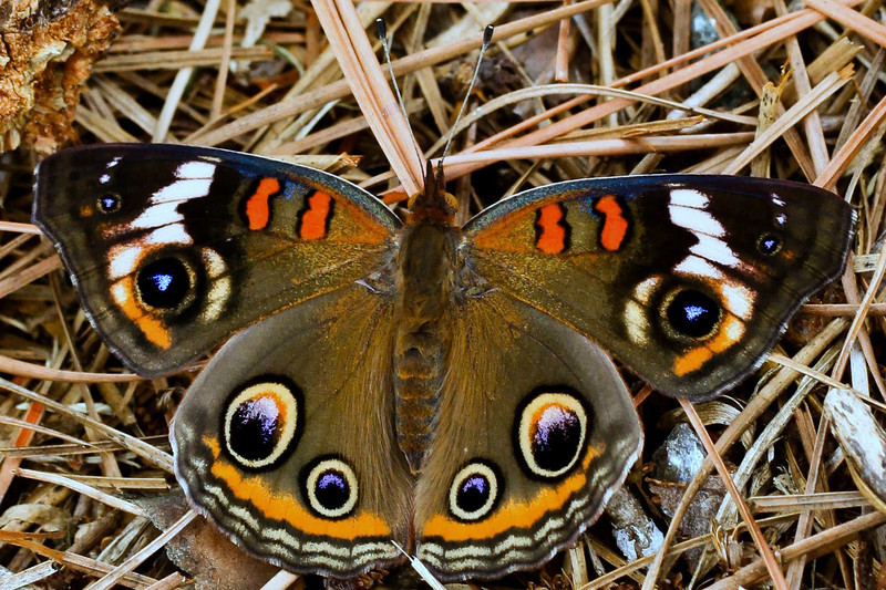 A tiny brush-footed butterfly (Nymphalidea) Day 250-common Buckeye Junonia coenia Hübner, [1822] #365Project (2010.09.07)@sharkbayte