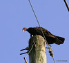 This is a Turkey Vulture, Cathartes aura They have a wind span of 67-72 inches! I almost always find him on this pole watching everything. I couldn't get a shot of him without the wires. I really need to get a longer lens. #365Project day 263. (2010.09.20) @sharkbayte