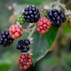 0715 Blackberry Way<br /> <br /> The birds better hurry up before these start to ripen and human competition moves in.