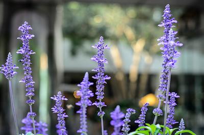 0828 Lavender Blue