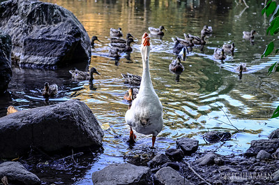 0829 The Rumble  This very disagreeable goose and his gang of ducks were out looking for trouble.  The message to get out of their turf was clear.