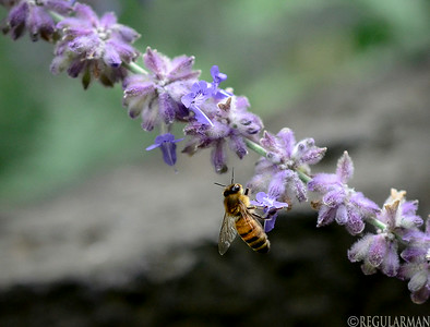 0814 Honey Bee