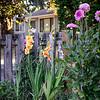 0717 Gladiolus Rag