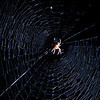 Day 50. August 27, 2010. I found this web last night while watering the tomatoes and resolved to photograph is tonight. Turns out when it's pitch dark outside, it's really hard to get a good focus, or even find where the web is, especially with the web waving back and forth in the breeze. Eventually, a housemate came and held my headlamp to the web while I experimented, which was a huge help, so thanks. I just earlier in the day read a tip to use a spray bottle to attach water droplets to the web, so perhaps at a later time, I'll try this again with the 100mm macro, with water droplets in the early morning when there's better natural lighting.<br /> <br /> EF135mm, f/2.8. 1/60s. On-camera 580EX II at 1/8 power with diffuser, 430EX II slightly on camera right just very slightly behind the web.