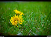 Dandelions are Back<br /> These guys are waking up from their long slumber this week. Soon the yard will be yellow.