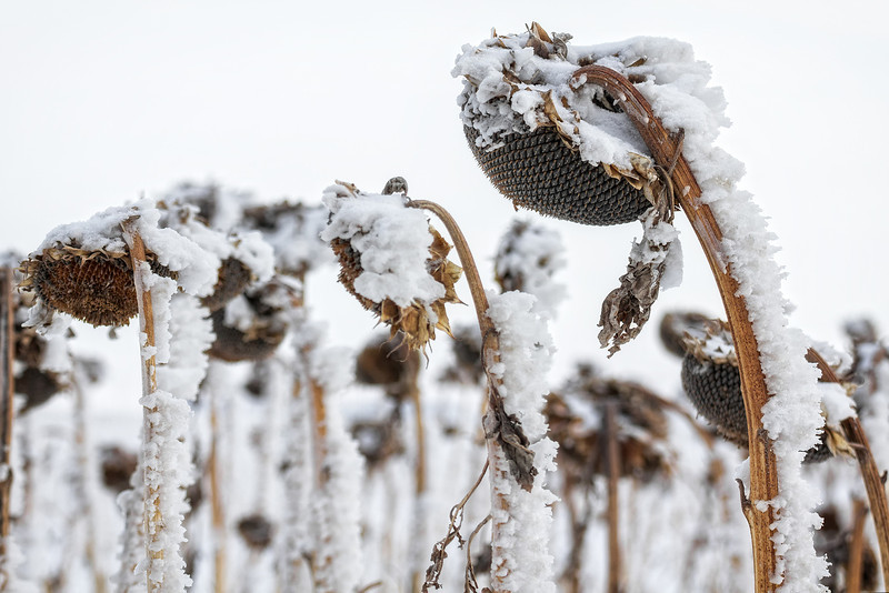 Snowflower<br /> <br /> In ND the sunflower is often called a snowflower as they are harvest late in the year often after the snow has arrived.