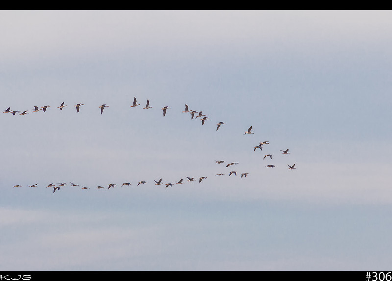 Canadians Are Back<br /> Each day more and more are arriving for the nesting season. It's so nice to step outside and hear em honking away.