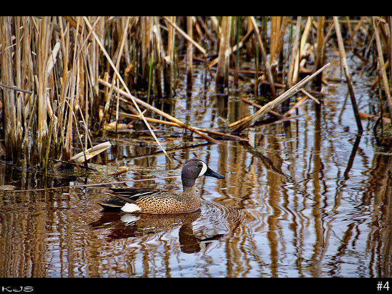 Pretty much any water hole you pass by around here has some variety of waterfowl swimming around in it. I'm not sure what they call this particular one, but I see these the most.