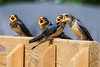 Feed Me<br /> The baby barn swallows have left the nest. They made it to the back deck and sit on the rail waiting for their parents to bring them food. When one of the parents come around they go nuts chirpin and holding their mouths open hoping to be the next one to get the food. I think the one facing the wrong way was trying to get his sibling to trade spots in hopes to butt in line.